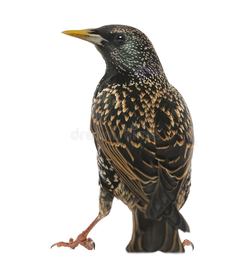 Вид сзади общего изолированного Starling, Sturnus vulgaris, стоковые фотографии rf