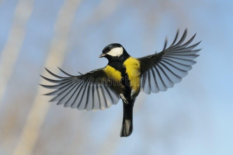 Вид спереди летать большая синица против предпосылки неба осени стоковое изображение rf