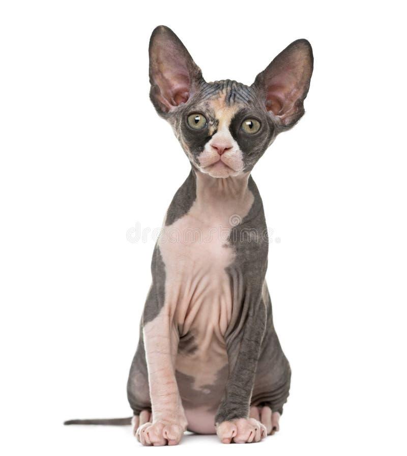 Вид спереди котенка Sphynx изолированного на белизне стоковые изображения rf