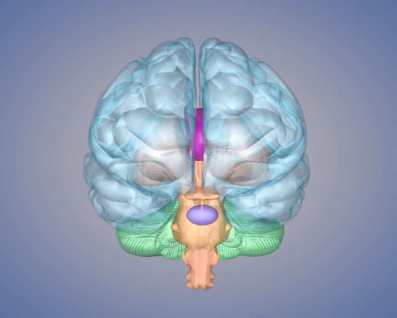 вид спереди мозга стоковое фото rf