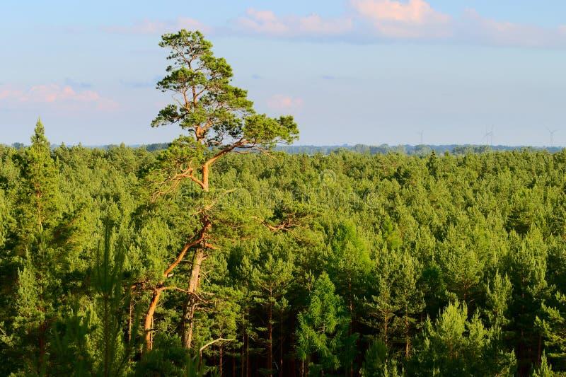 Вид с воздуха сосновой древесины стоковые изображения