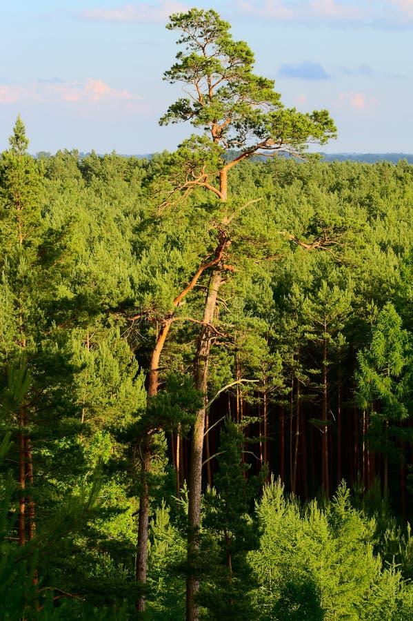 Вид с воздуха сосновой древесины стоковое изображение