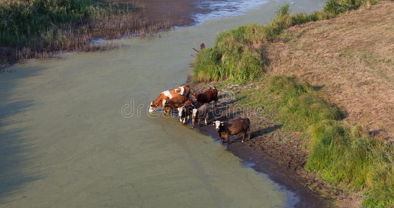 Вид с воздуха табуна коров на поле зеленого цвета лета выпивая на th стоковое фото