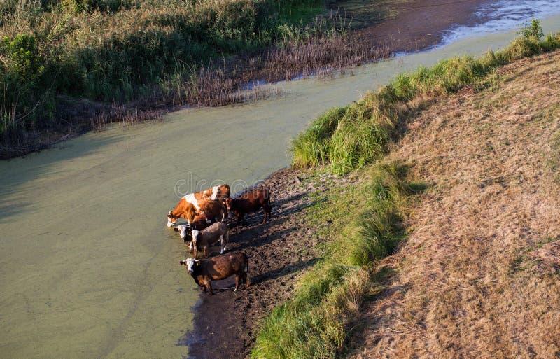 Вид с воздуха табуна коров на поле зеленого цвета лета выпивая на th стоковая фотография rf