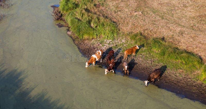 Вид с воздуха табуна коров на поле зеленого цвета лета выпивая на th стоковые изображения rf