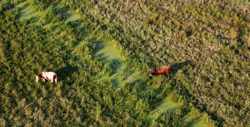 Вид с воздуха табуна коров на поле зеленого цвета лета стоковые фото