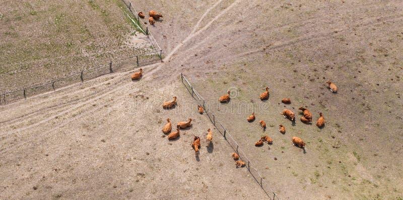 Вид с воздуха табуна коров на поле зеленого цвета лета стоковая фотография
