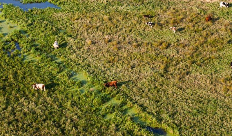Вид с воздуха табуна коров на поле зеленого цвета лета стоковое фото rf
