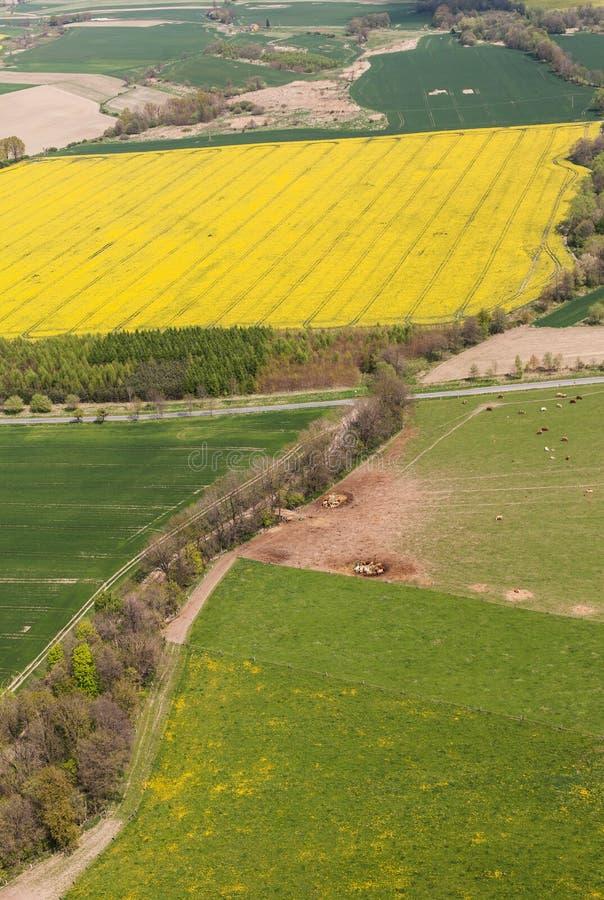 Вид с воздуха табуна коров на поле зеленого цвета лета стоковые изображения