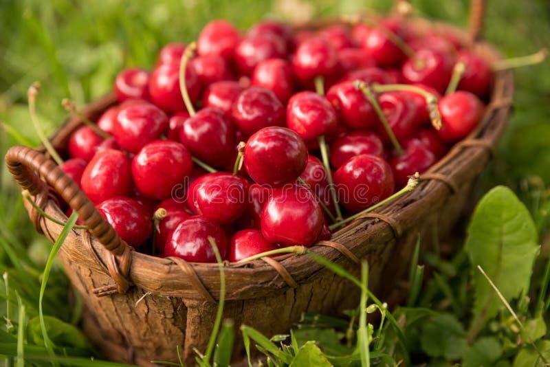 Вкусные вишни собрали в корзине лежа на траве с стоковое изображение rf