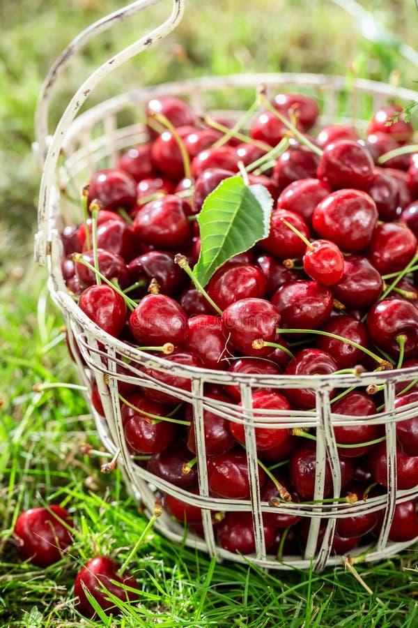 Вкусные и сладкие вишни в белой корзине стоковое изображение rf