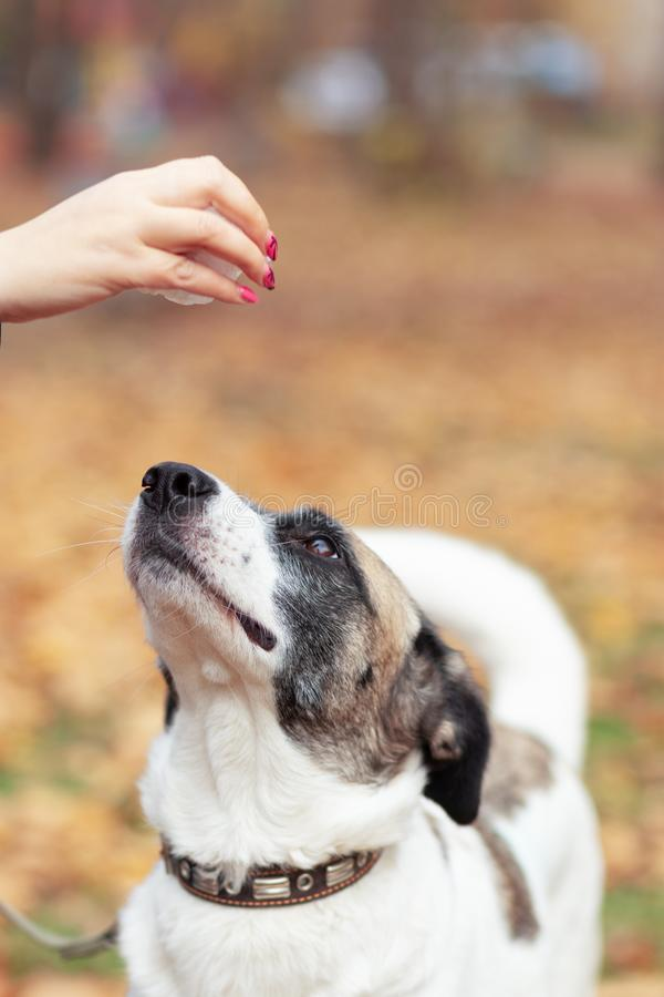 Владелец женщины дает обслуживание ее собаке для прогулки стоковое изображение