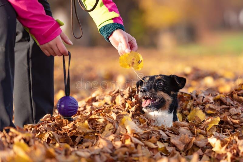 Владелец собаки играет с его терьером Джек Рассела в куче листвы в осени Они имеют много потеху совместно стоковое изображение rf