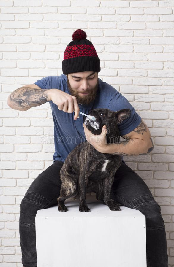 Владелец чистит зубы щеткой его любимца Бульдог собаки французский Зубная щетка и зубная паста стоковая фотография