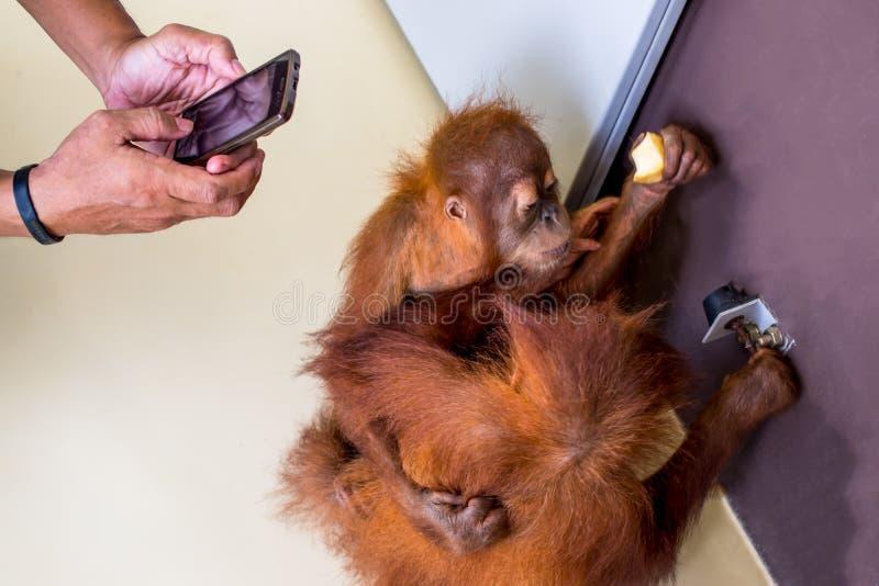 Владение руки на фото младенцев орангутана взятия телефона стоковое изображение rf