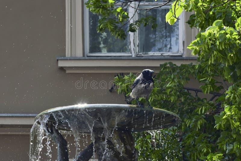 Влажная ворона города после плавать в небольшом фонтане gaze Двигатели воды стоковые фото