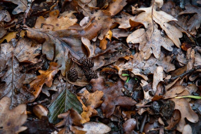 Влажные грязные листья дуба с крупным планом конусов хвои стоковая фотография rf
