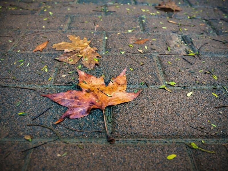 Влажные красно-желтые кленовые листы на влажном дожде асфальт-осени стоковые фото