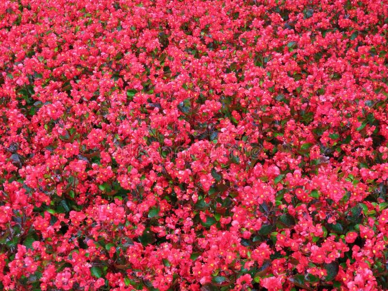 Влажные красные цветки лета после дождя стоковое фото rf