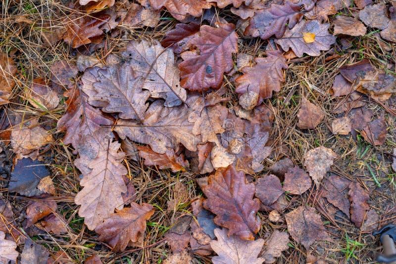 Влажные листья дуба лежа на пути леса Листья deci стоковые изображения