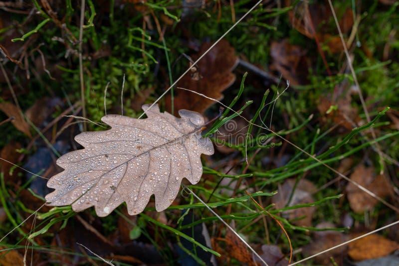 Влажные листья дуба лежа на пути леса Листья deci стоковое фото rf