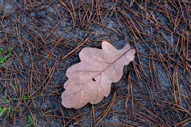 Влажные листья дуба лежа на пути леса Листья deci стоковое изображение