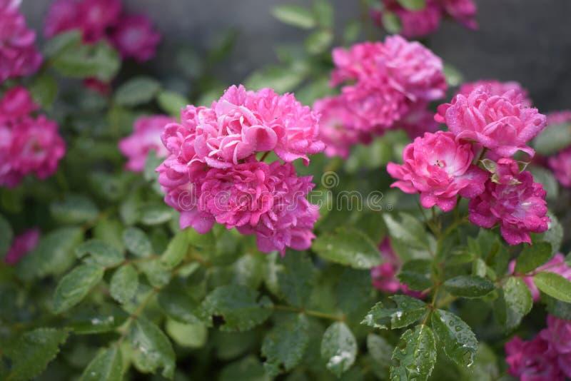 Влажные розовые розы с падениями росы На открытом воздухе предпосылка стоковые изображения