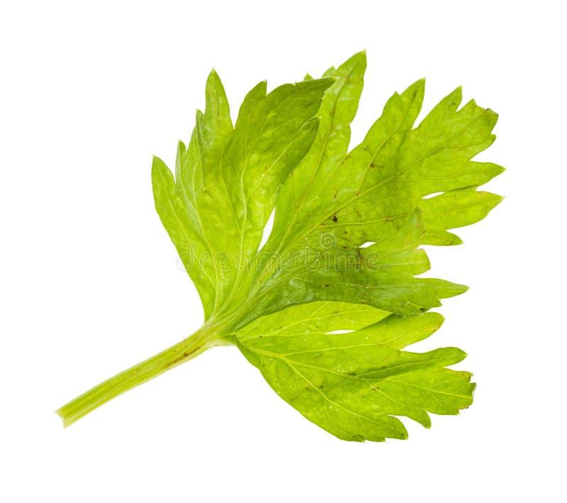 Влажные свежие лист сельдерея изолированные на белизне стоковое фото