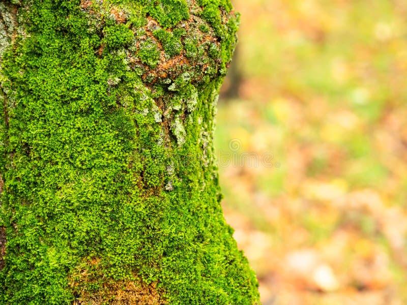 Влажный ствол дерева перерастанный с мхом в парке в дожде стоковая фотография