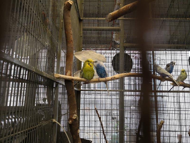 Влюбленность длиннохвостого попугая стоковое фото