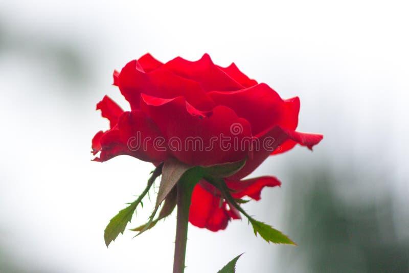 Влюбленность и деликатес красной розы стоковое изображение rf