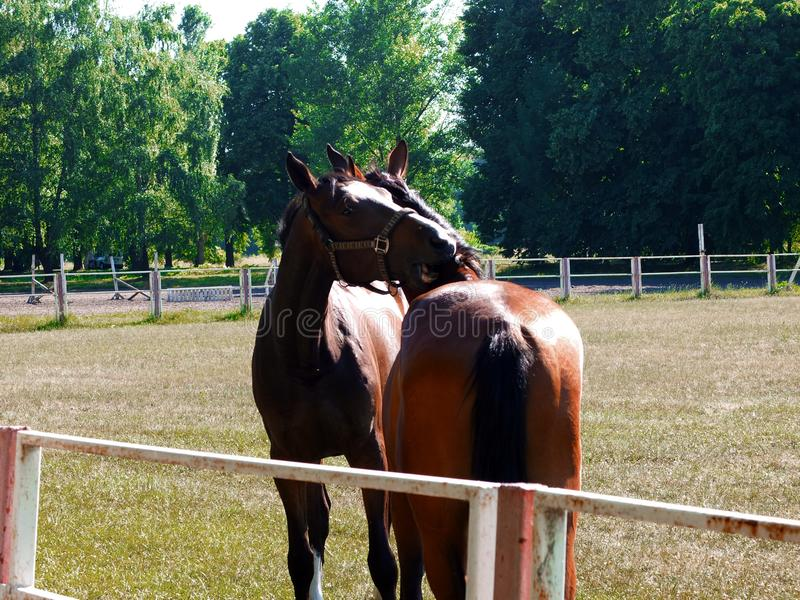 Влюбленность и лошади стоковое изображение rf