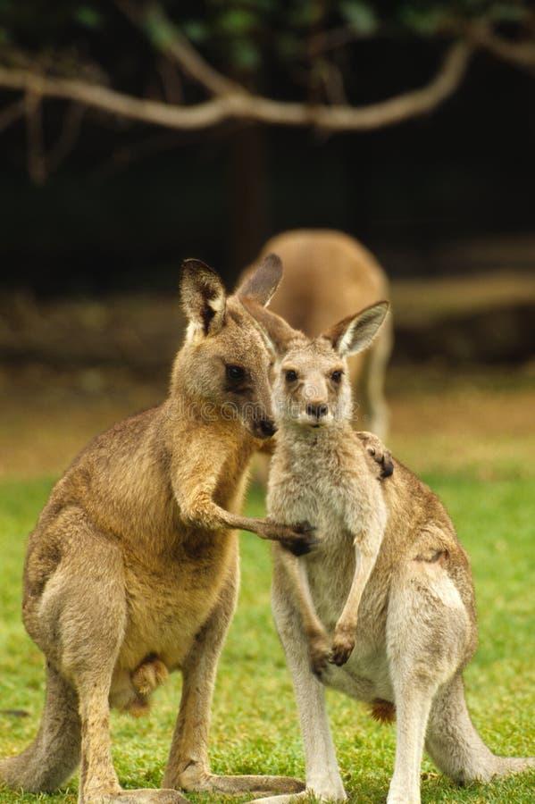 влюбленность кенгуруа стоковые изображения rf