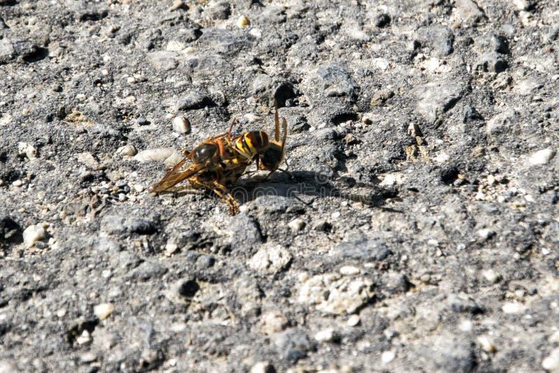 Влюбленность пчелы стоковые изображения rf