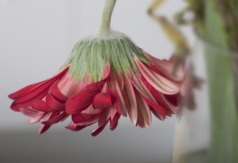 влюбленность цветка конца спада Стоковая Фотография RF