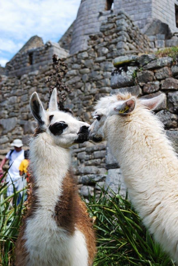 влюбленность llamas стоковое фото