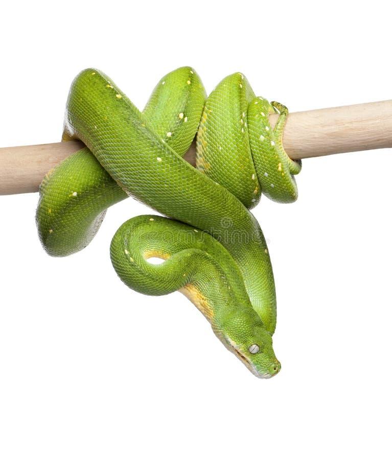 вниз зеленые смотря viridis вала питона morelia стоковые изображения rf
