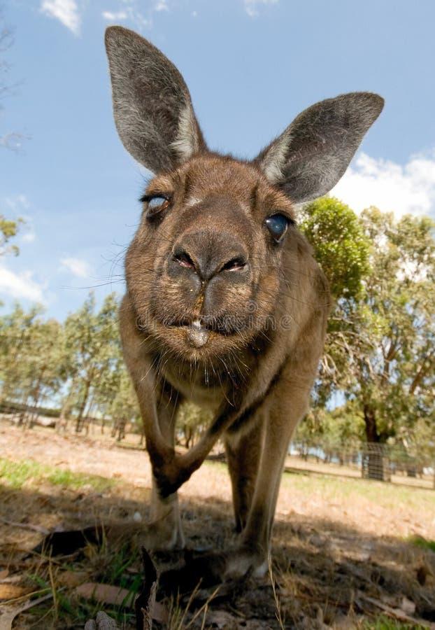 вниз смотреть объектива кенгуруа стоковые изображения