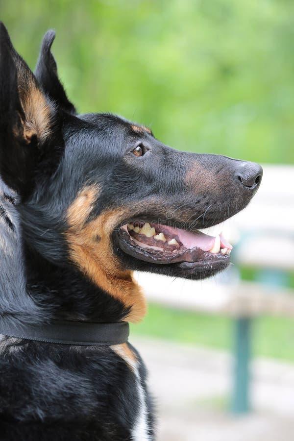 Внимательная смотря темная собака породы стоковая фотография rf