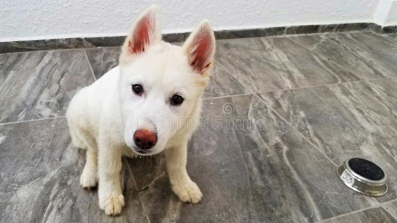 Внимательное белое сиплое усаживание щенка, вытаращить на вас стоковое изображение