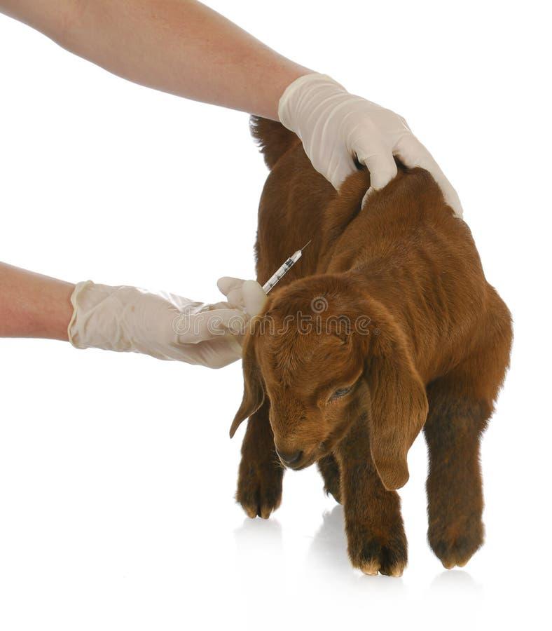 Внимательность veterinary фермы стоковое фото rf