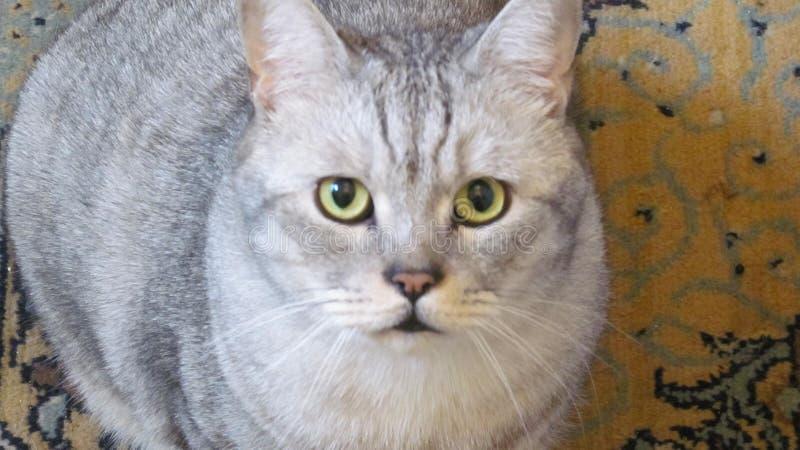 внимательный взгляд великобританского кота стоковая фотография rf