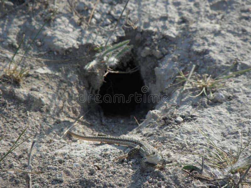 Внимательная ящерица стоковое фото rf