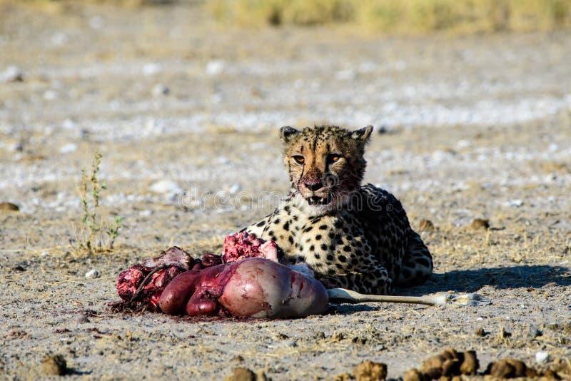 Внимательный гепард с убийством стоковое изображение rf