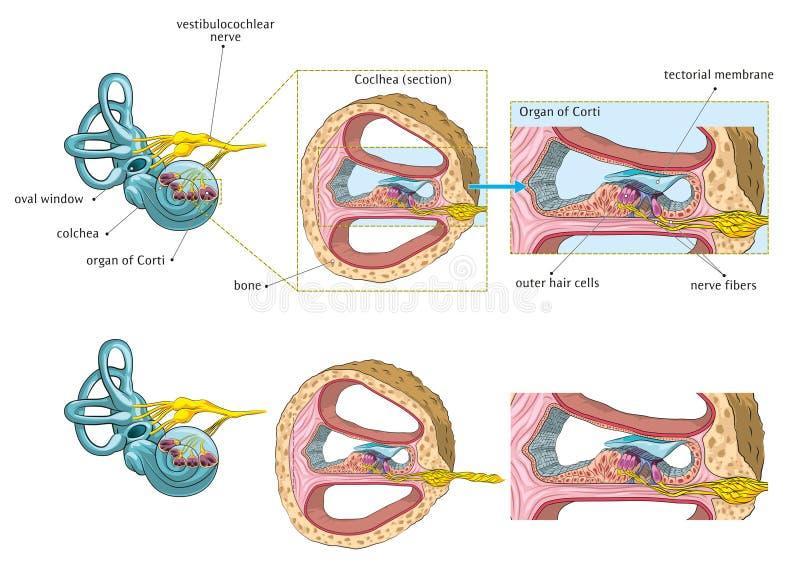 Внутреннее ухо иллюстрация вектора