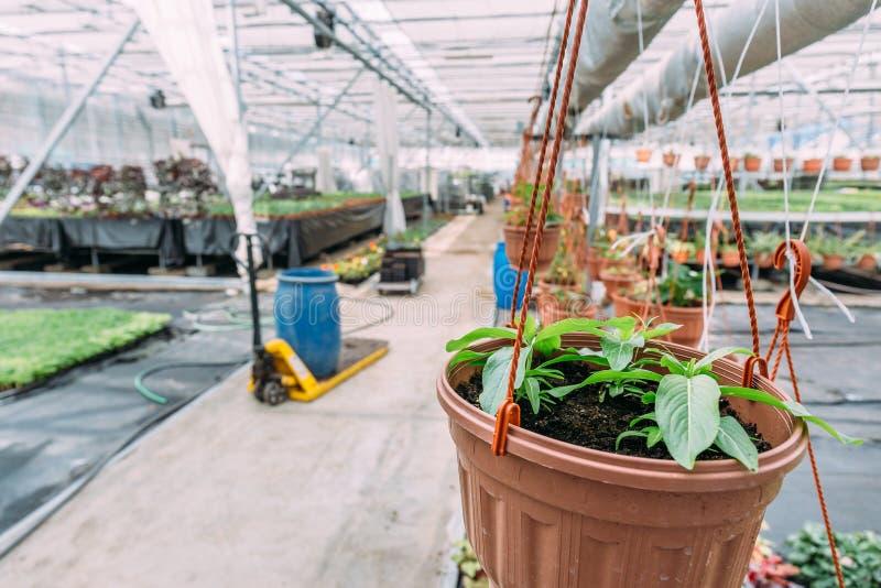 Внутренние современные парник или оранжерея для культивировать и растущие цветки и заводы Органическая концепция земледелия стоковые фотографии rf