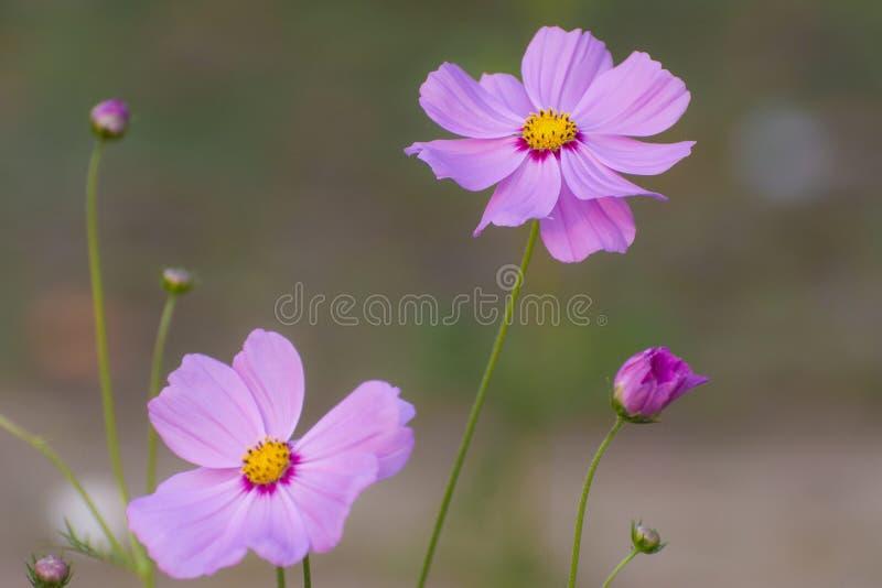 Внутренняя красота розовых цветков стоковая фотография