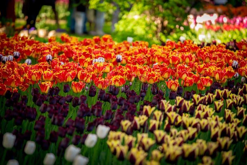 Внушительное красочное поле красно-желтых, темных фиолетовых тюльпанов от фестиваля тюльпана стоковые фото
