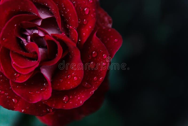 вода близкой розы красного цвета макроса изображения капек dof темноты весьма отмелая поднимающая вверх Конец крайности стоковые фотографии rf