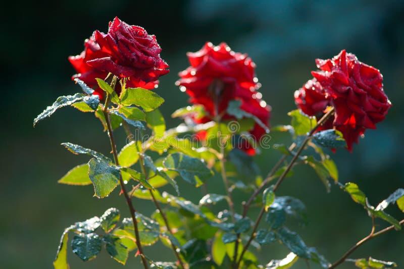 вода близкой розы красного цвета макроса изображения капек dof темноты весьма отмелая поднимающая вверх Конец крайности стоковое изображение